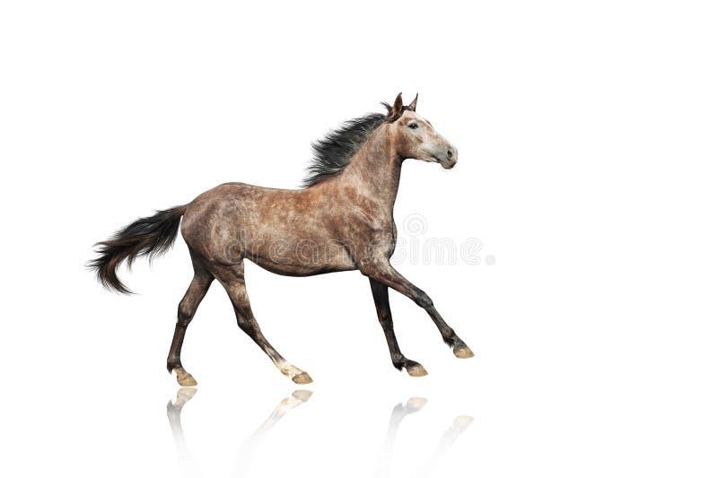 Un caballo marrón-gris hermoso que galopa el traje inusual foto de archivo libre de regalías