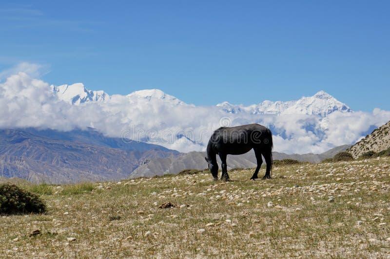 Un caballo negro pasta en una colina, contra el contexto de la gama del macizo de Annapurna imagen de archivo libre de regalías