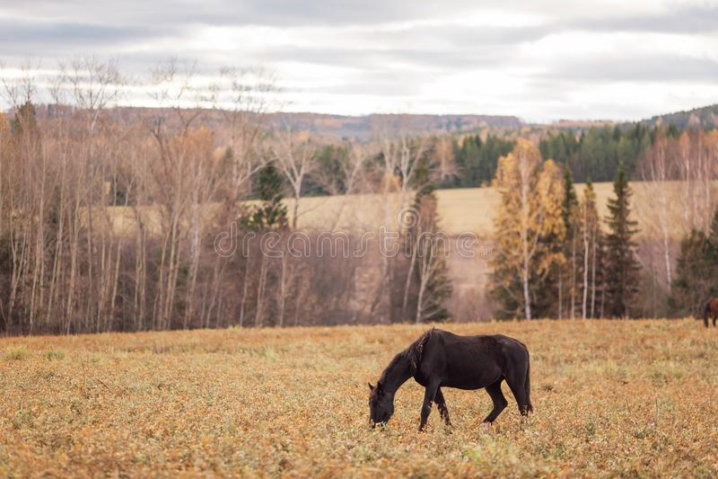 Un caballo negro solitario, fino imagenes de archivo