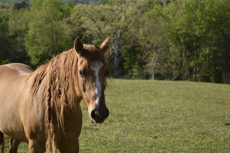 Un caballo nombró a Vanity fotografía de archivo libre de regalías
