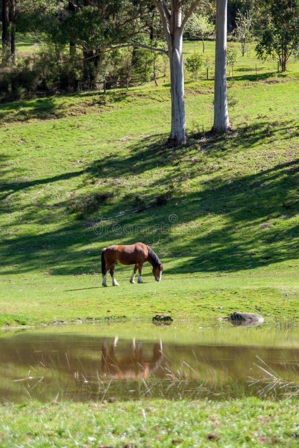 Un caballo que come el pasto verde enorme al lado de una charca fotos de archivo