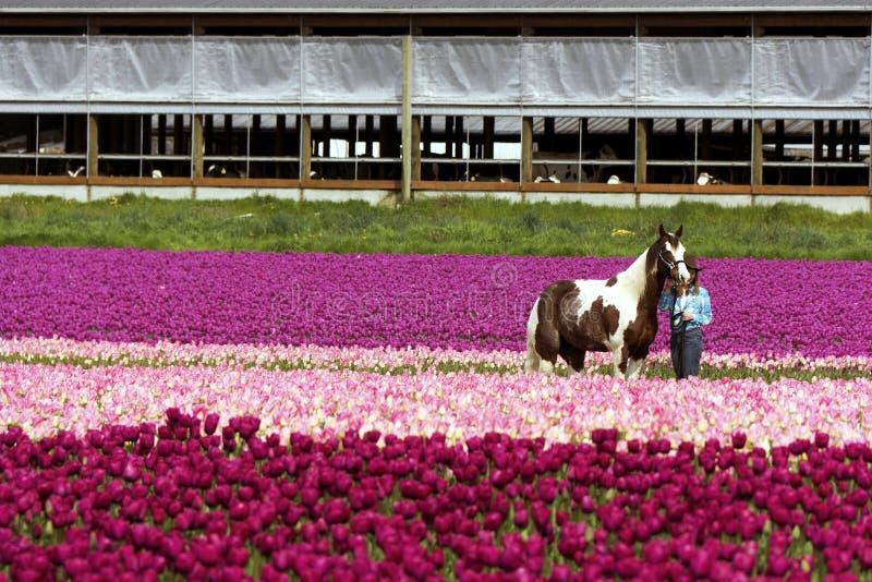 Un caballo y un instructor con los tulipanes fotografía de archivo