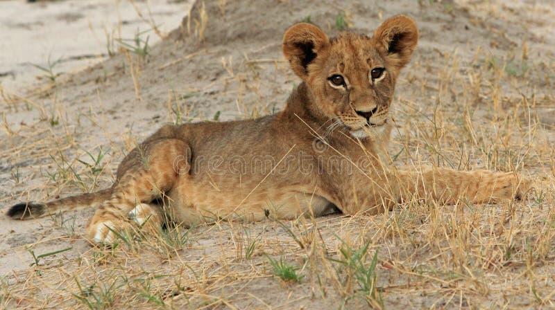 Un cachorro de león joven aislado foto de archivo libre de regalías