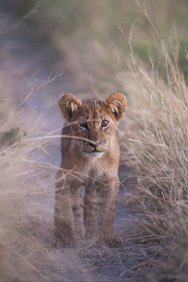Un cachorro de león joven que mira hacia fuera en la cámara entre de la hierba alta al lado de un rastro del juego en Savute foto de archivo