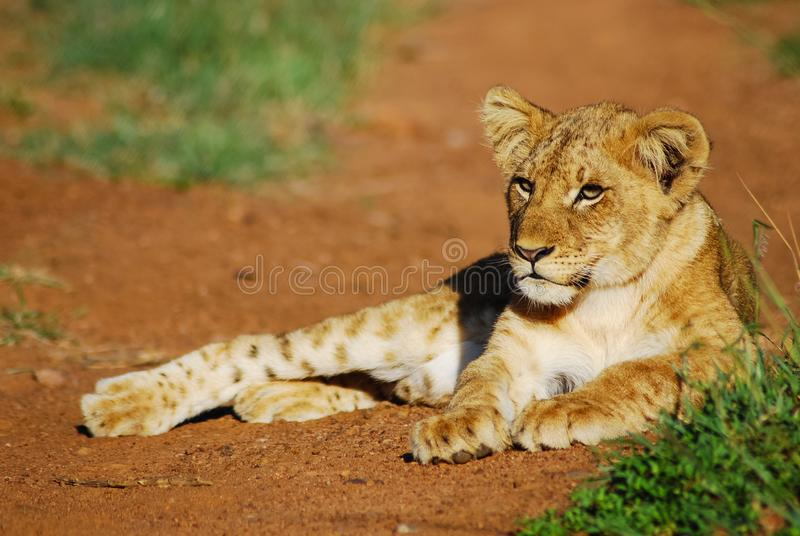 Un cachorro de león joven imagen de archivo
