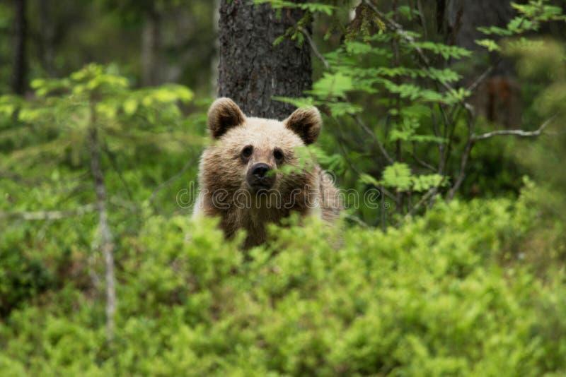 Un cachorro de oso joven de Brown en un bosque del taiga imagen de archivo