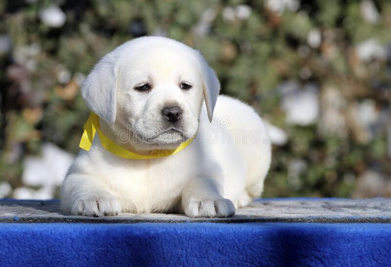 Un cachorro labrador de fondo azul fotografía de archivo libre de regalías