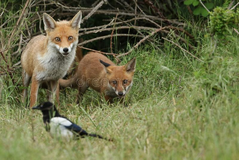Un cachorro salvaje lindo del Fox rojo, vulpes del Vulpes, coloc?ndose en la hierba larga al lado del vixen fotos de archivo libres de regalías
