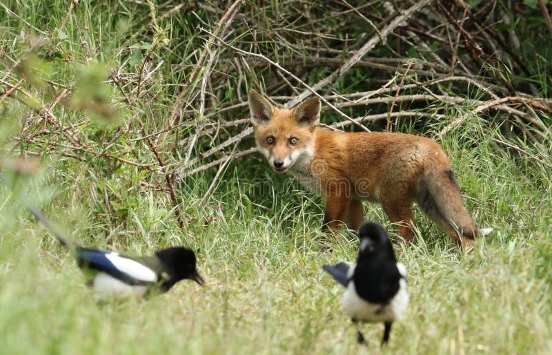 Un cachorro salvaje lindo del Fox rojo, vulpes del Vulpes, mirando a las urracas el alimentar en la hierba larga imagen de archivo libre de regalías