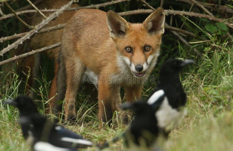 Un cachorro salvaje lindo del Fox rojo, vulpes del Vulpes, mirando a las urracas el alimentar en la hierba larga foto de archivo