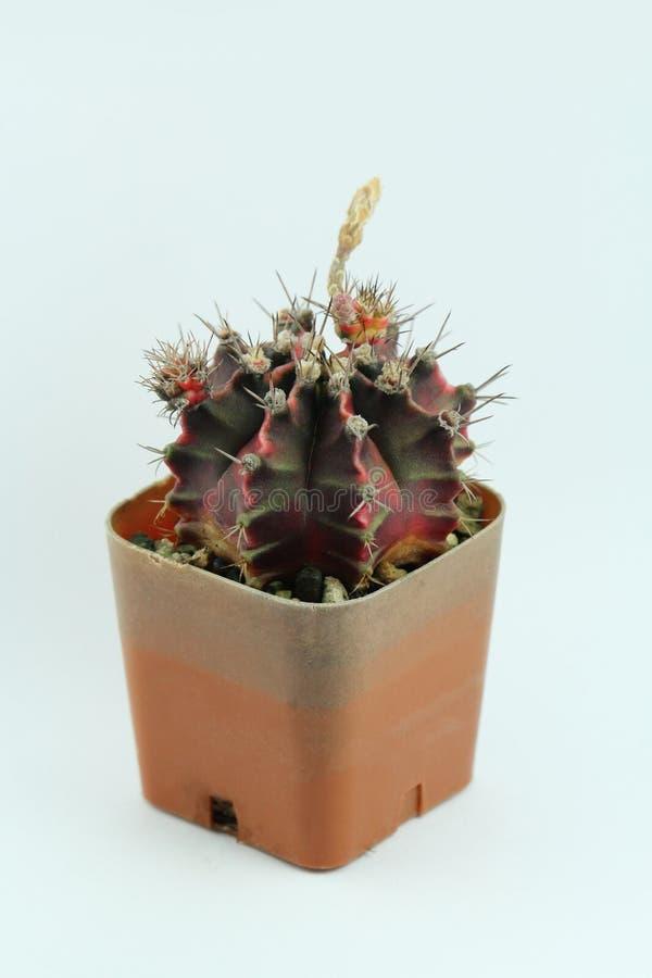 Un cactus dans un pot brun d'isolement sur le fond bleu-clair photo stock