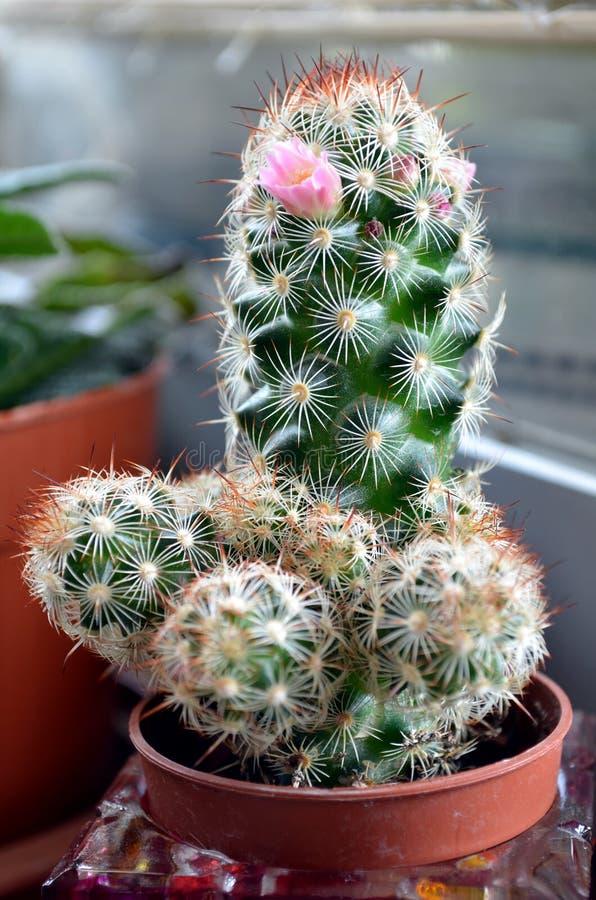 Un cactus de floraison photo libre de droits