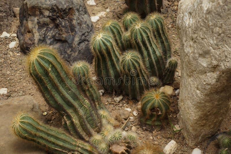 Un cactus de la forma del barril con color verde con el punto y la espina en el suelo de tierra - foto Bogor fotos de archivo