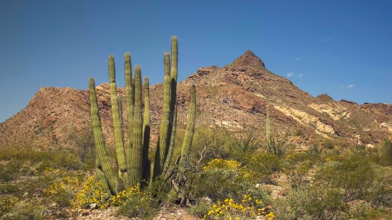 Un cactus del organpipe con los picos gemelos en el fondo fotos de archivo