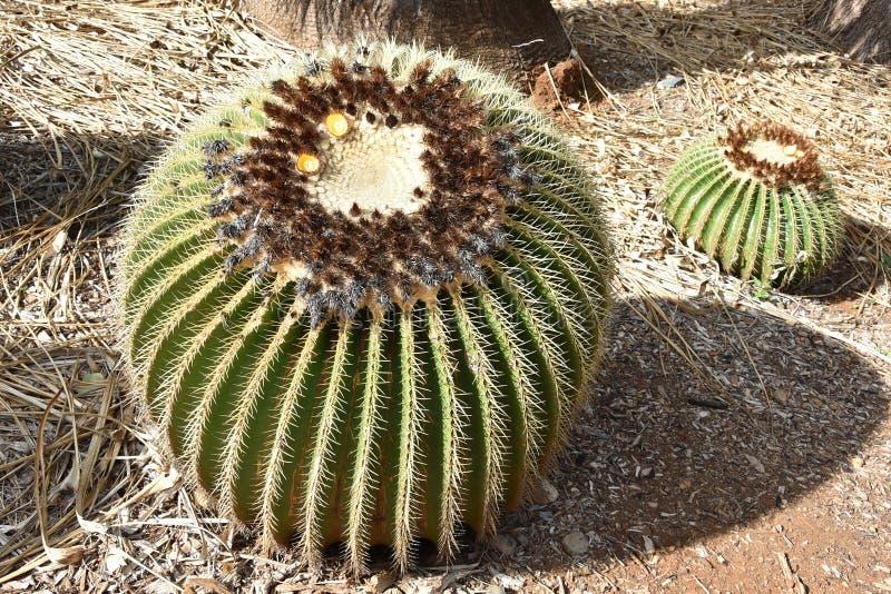 Un cactus di barilotto dorato fotografia stock libera da diritti