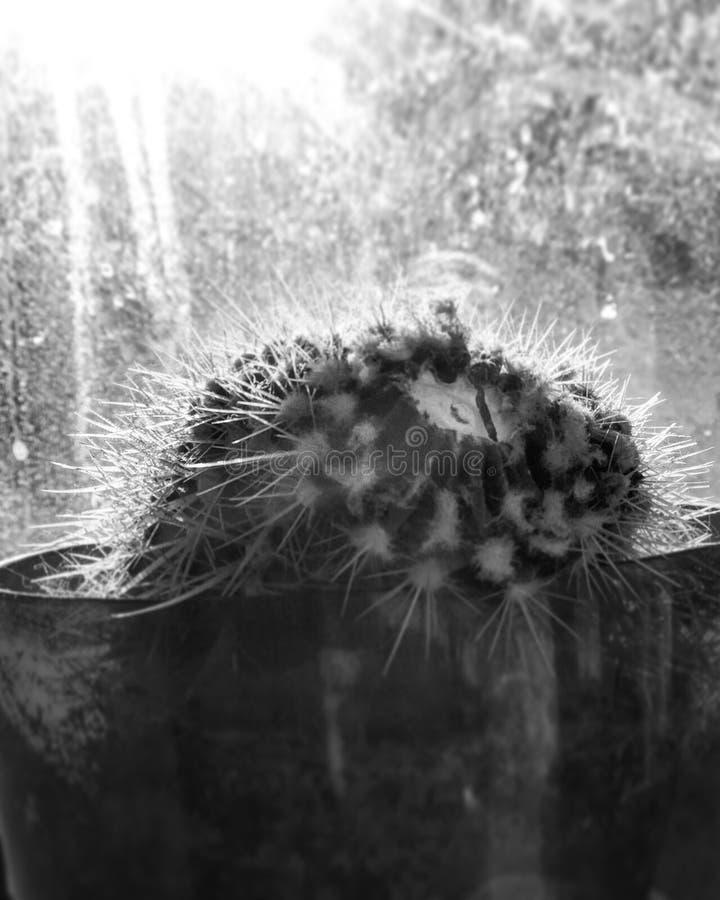 Un cactus en blanco y negro en la luz del sol fotos de archivo libres de regalías