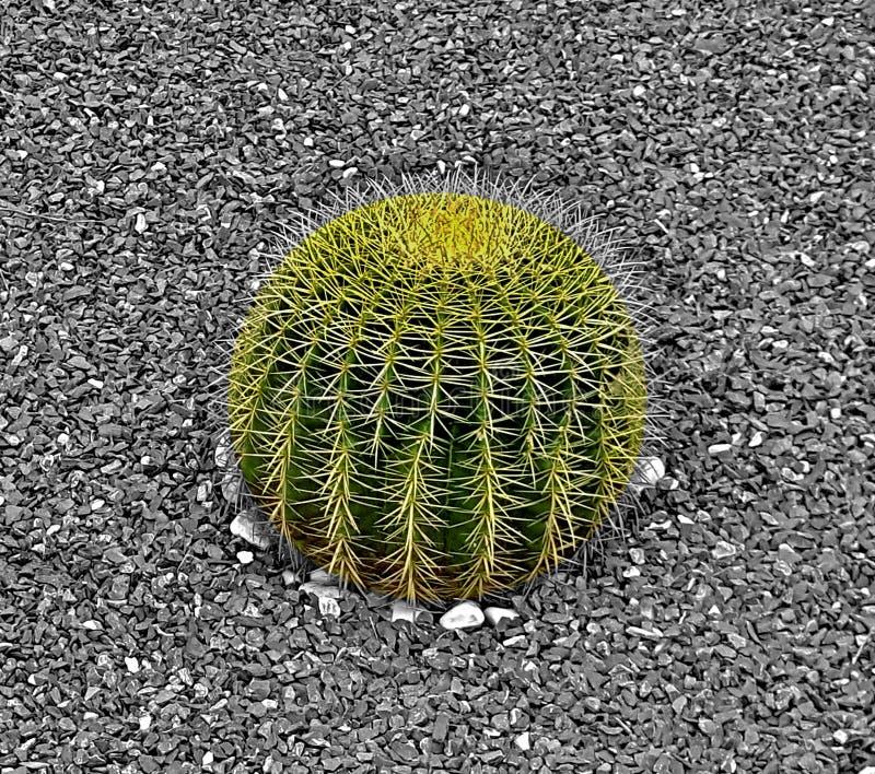 Un cactus es un miembro del Cactaceae de la familia de plantas, familia que comprende cerca de 127 g?neros con un ciertas especie imágenes de archivo libres de regalías