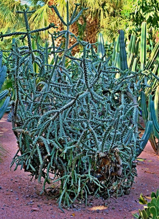 Un cactus es un miembro del Cactaceae de la familia de plantas, familia que comprende cerca de 127 g?neros con un ciertas especie fotos de archivo libres de regalías