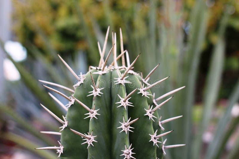 Un cactus mexicano con las espinas agudas imágenes de archivo libres de regalías