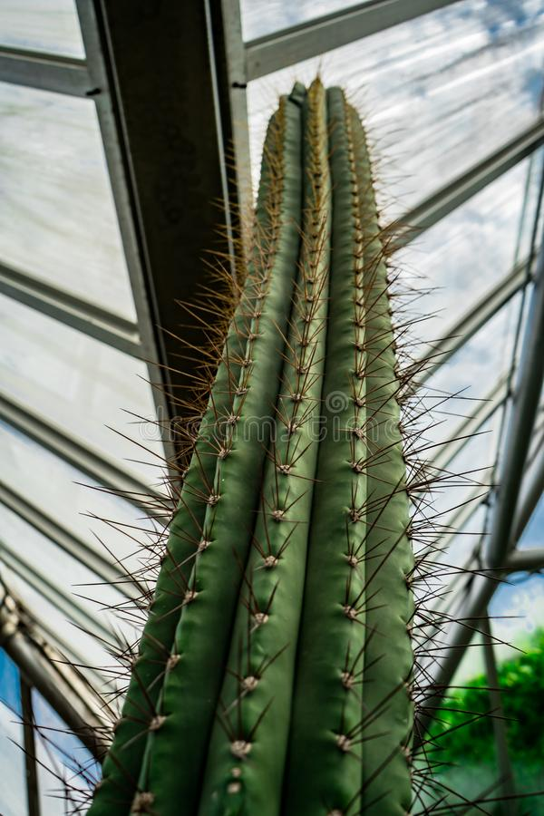 Un cactus verde alto sotto i lucernari al pavillion del giardino botanico fotografia stock