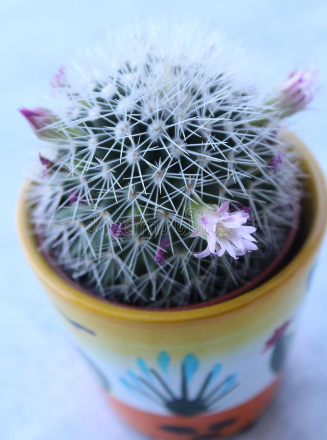 Un cactus vert photo stock