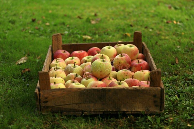 Un cajón de manzanas orgánicas fotos de archivo libres de regalías