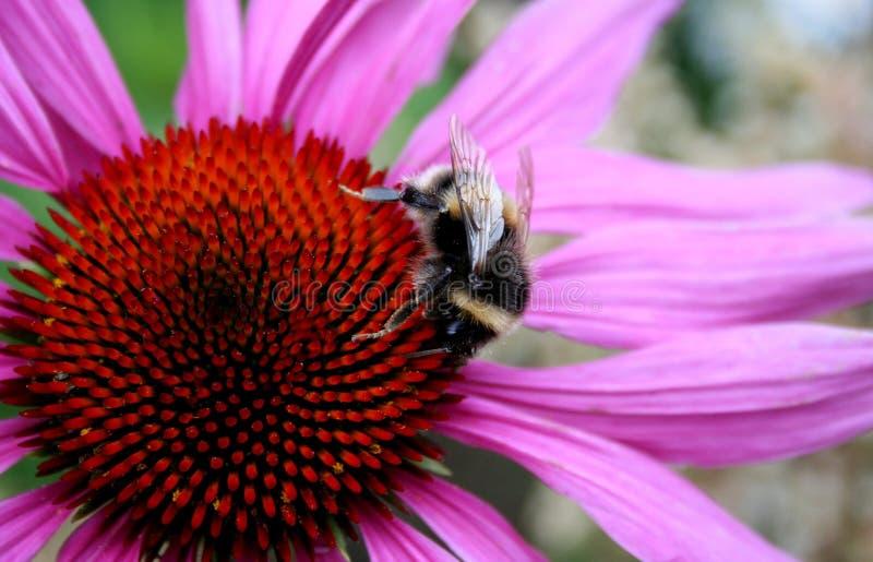 Un calabrone a fette sul fiore viola fotografia stock