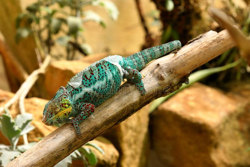 Un caméléon coloré images stock