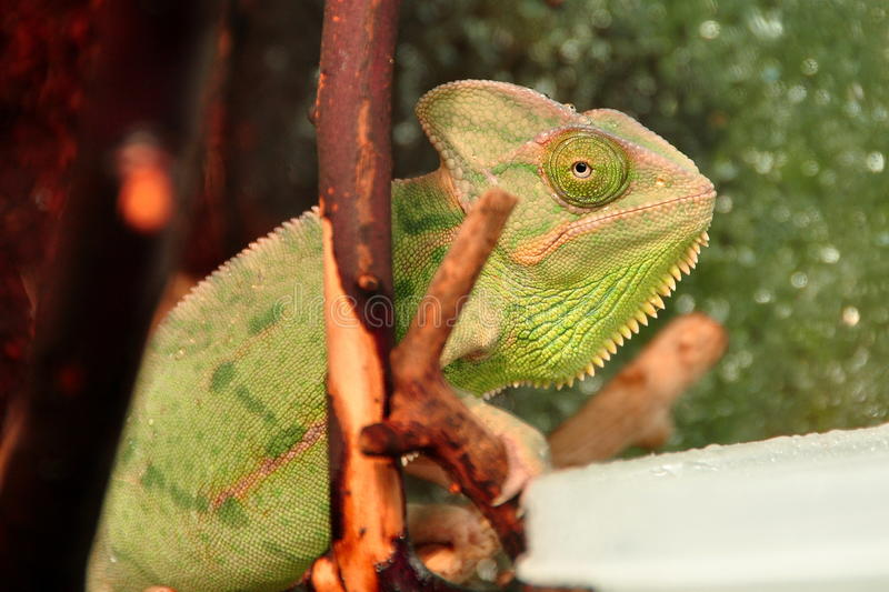 Mr.Chameleon photographie stock