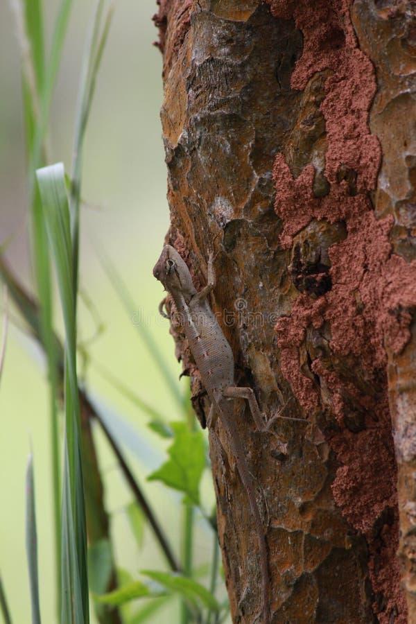Un caméléon s'élevant sur l'arbre photos libres de droits