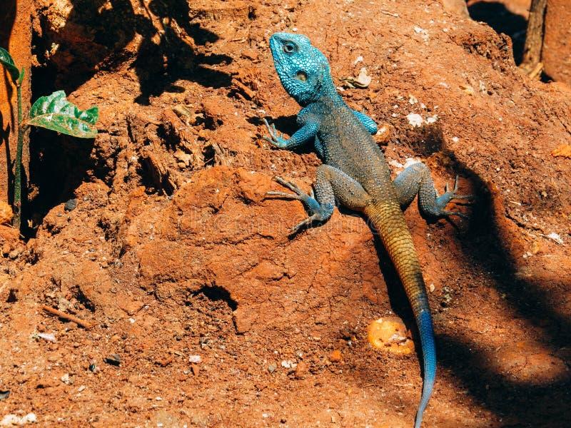 Un camaleonte fotografia stock