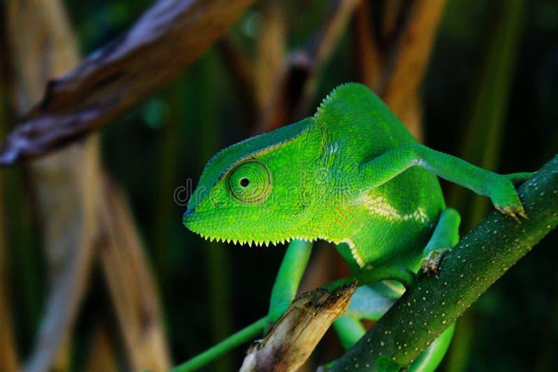 Un camaleonte africano nelle giungle dell'Uganda, Entebbe fotografia stock libera da diritti