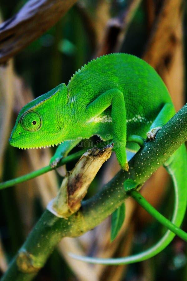 Un camaleonte africano nelle giungle dell'Uganda, Entebbe fotografia stock