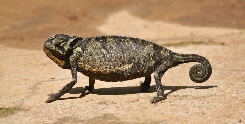 Un camaleonte che fa una pausa prima del cambiamento del colore fotografie stock libere da diritti