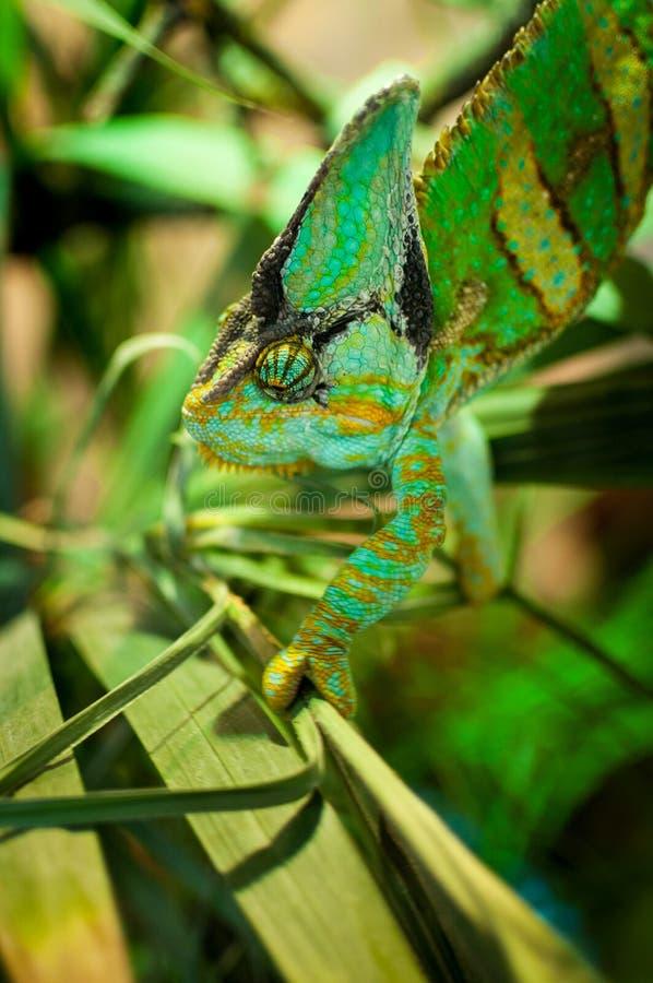 Un camaleonte verde che scala attraverso un albero immagine stock