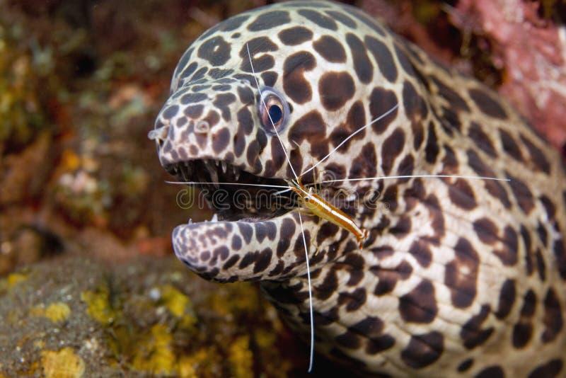 Un camarón más limpio con la anguila de Moray imagenes de archivo