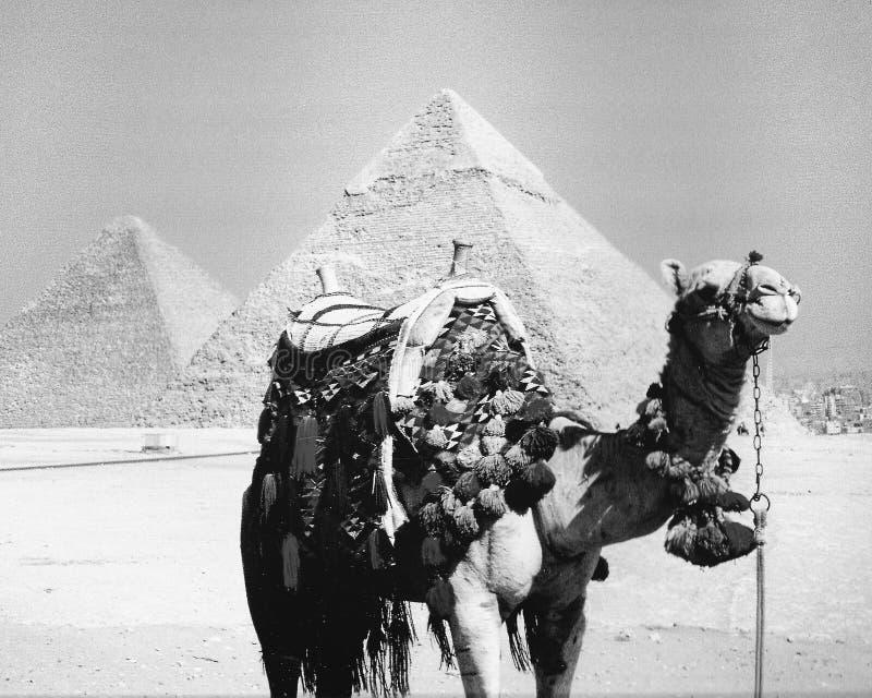 Un camello delante de las grandes pirámides de Giza en Egipto foto de archivo libre de regalías