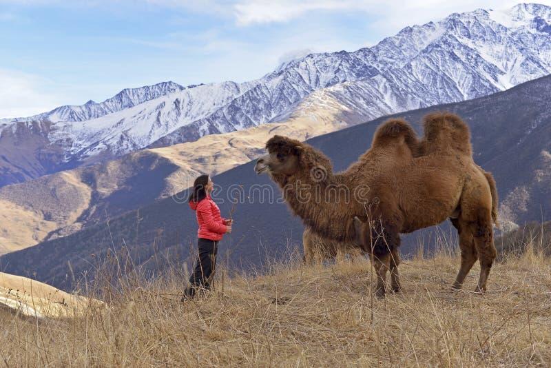 Un camello two-humped grande camina en las montañas nevosas en el otoño fotos de archivo