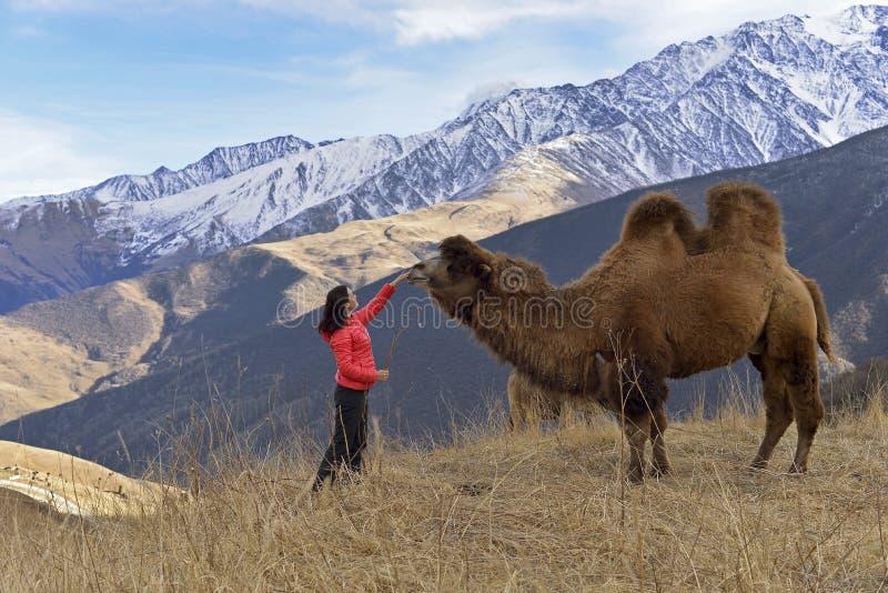 Un camello two-humped grande camina en las montañas nevosas en el otoño imagenes de archivo
