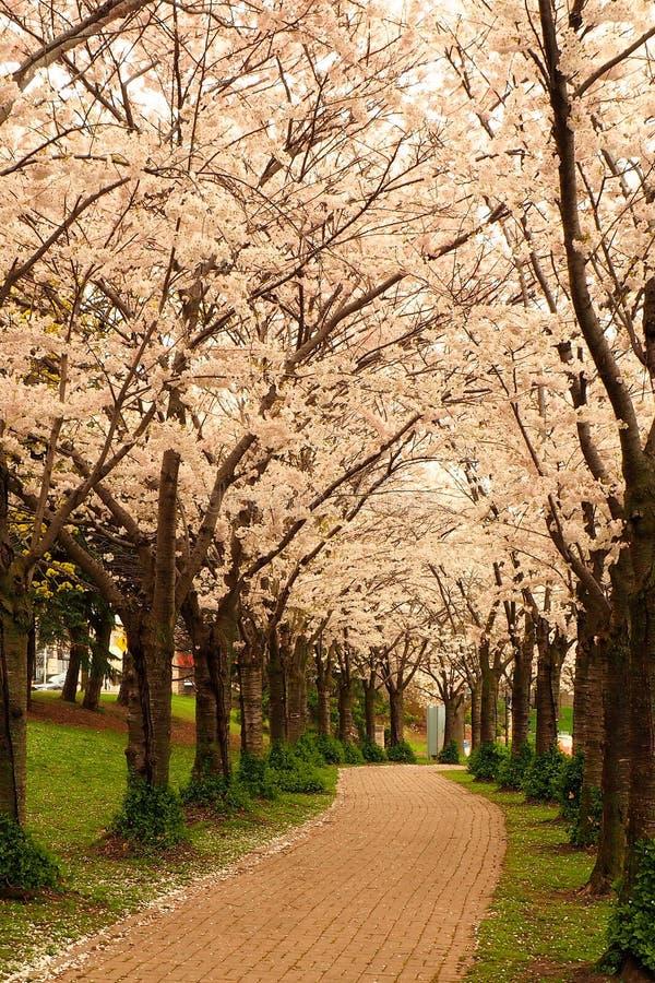 Un camino es confinado por endoselado de Cherry Blossoms japonés en Spencer Smith Park en Burlington, Ontario, Canadá fotografía de archivo libre de regalías