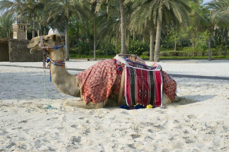 Un cammello turistico di guida è decorato con il fol beduino tradizionale fotografia stock