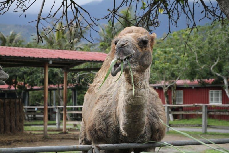 Un cammello in un'azienda agricola di turismo fotografie stock libere da diritti