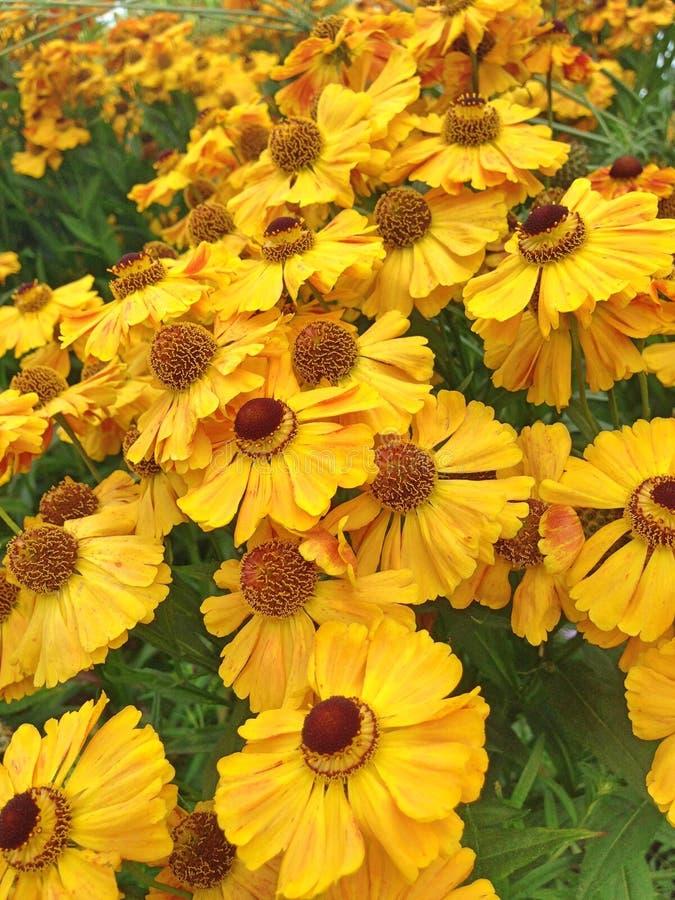 Un campo colorido llenó de las flores amarillas brillantes del Helenium foto de archivo