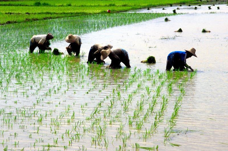 Un campo de arroz imagenes de archivo
