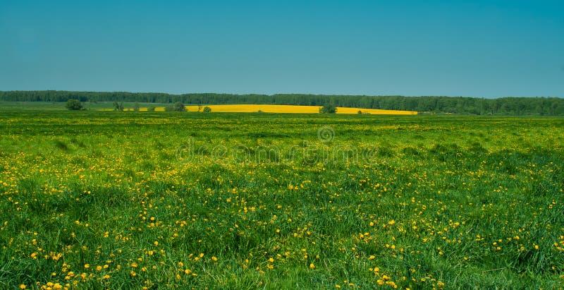 Un campo de flores amarillas brillantes fotos de archivo libres de regalías