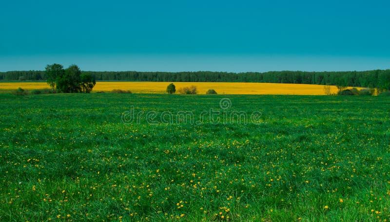 Un campo de flores amarillas brillantes foto de archivo