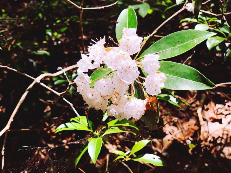 Un campo de flores blancas de laurel floreciendo imagenes de archivo