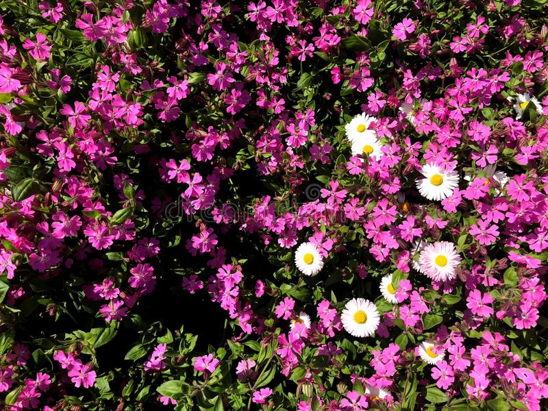 Un campo de flores coloridas Parque de la ciudad de colores naturales imagen de archivo libre de regalías
