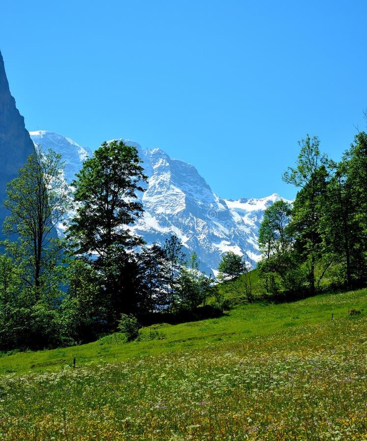 Un campo de flores en las montañas suizas foto de archivo libre de regalías