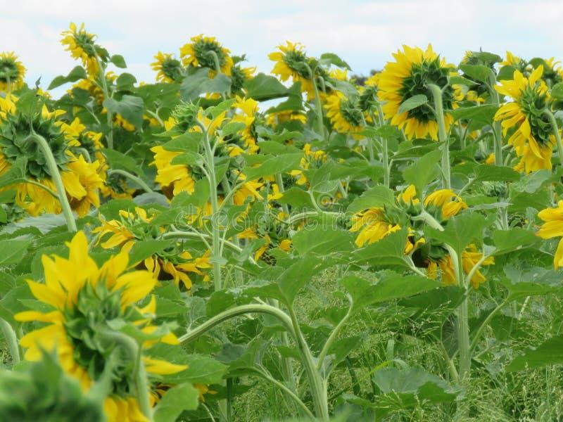 Un campo de girasoles amarillos brillantes soñadores imagenes de archivo